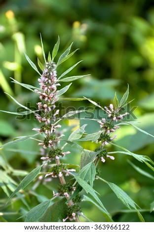 Blooming Leonurus cardiaca or motherwort on the meadow. Other names: throw-wort, lion's ear, Leonotis leonurus, Leonotis nepetifolia and lion's tail. - stock photo