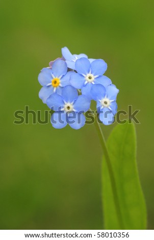 blooming light blue forget-me-nots on the green background