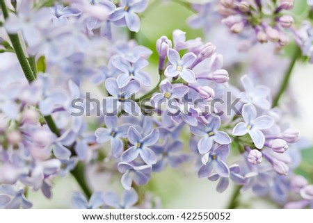 Blooming lilac bush. Flower petals macro view. soft focus. soft focus, shallow depth of field - stock photo