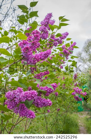 Blooming lilac bushes along the trail - stock photo