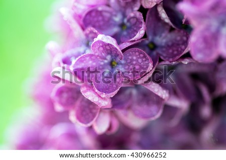 Blooming lilac flowers. Abstract background. Macro photo - stock photo