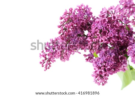 Blooming lilac flowers isolated on a white - stock photo