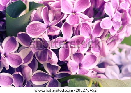 blooming lilac tree branch selective focus soft blur toned photo spring flower - stock photo