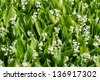 Blooming lily of the valley in spring garden - stock photo