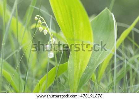 blooming Lily of the valley in the spring macro