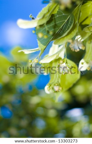 Blooming lime tree - stock photo