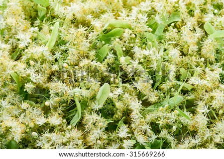 Blooming linden. Green background. - stock photo