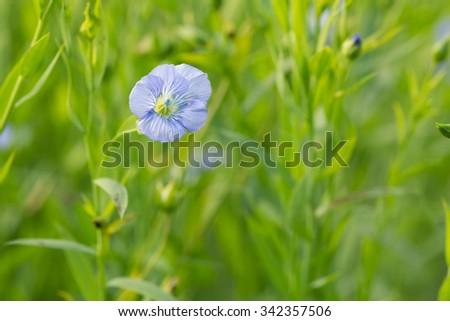 Blooming linum usitatissimum - stock photo
