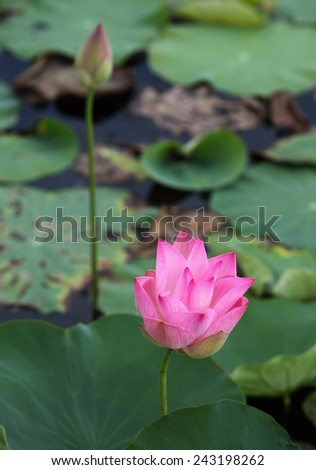 Blooming lotus and young lotus in the lake - stock photo