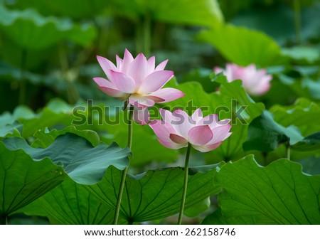 blooming lotus flower - stock photo