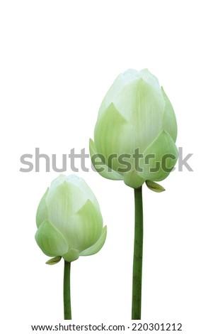 Blooming Lotus flower (Nelumbo nucifera). - stock photo