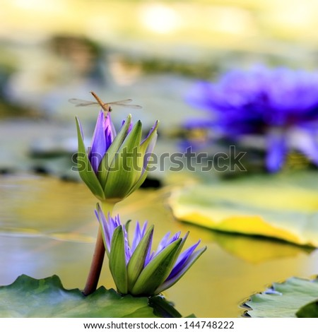 Blooming lotus in the pond - stock photo