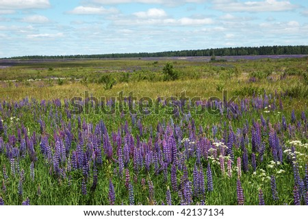 Blooming lupines on the meadow - stock photo
