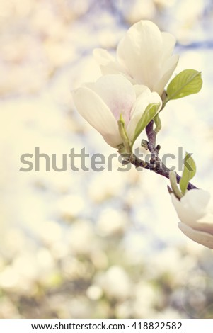 Blooming magnolia branch on a tree in the garden. Flowering magnolia tree densely covered with beautiful fresh white flowers - stock photo