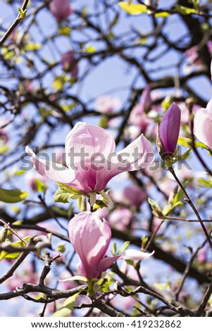 Blooming magnolia branch on a tree in the garden. Flowering magnolia tree densely covered with beautiful fresh pink flowers - stock photo