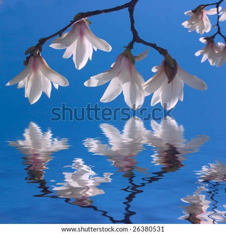 Blooming magnolia branch on background of blue sky