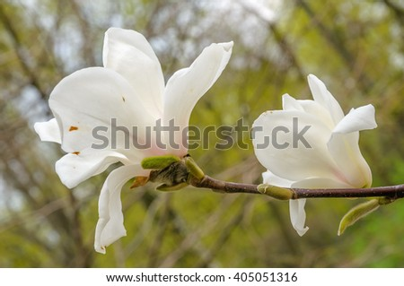 Blooming magnolia in spring time, white magnolia flowers. - stock photo