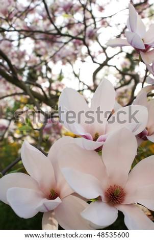 Blooming magnolia soulangeana in springtime - stock photo