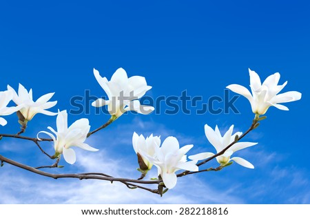 Blooming magnolia tree against the sky - stock photo