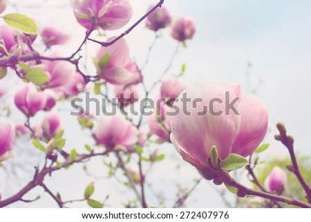 Blooming magnolia tree over blue sky background - stock photo