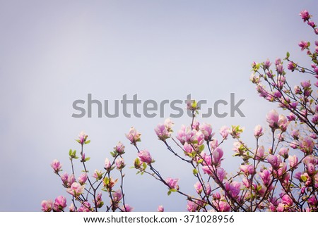 Blooming magnolia tree with pink buds on blue sky background, retro toned - stock photo