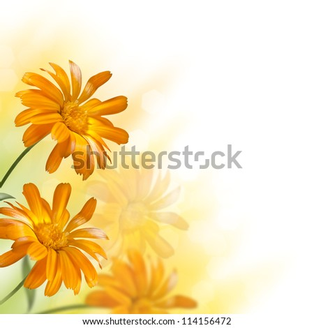 blooming marigold flower on a blurred background - stock photo