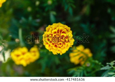 Blooming Marigold Flower with Green Grass Background - stock photo