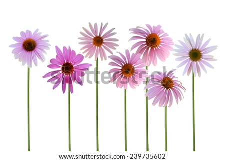 Blooming medicinal echinacea purpurea or coneflower isolated on white background  - stock photo
