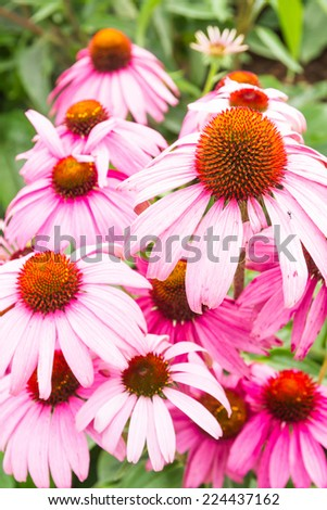 Blooming medicinal herb echinacea purpurea or coneflower, close-up, selective focus - stock photo