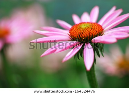 Blooming medicinal herb echinacea purpurea or coneflower, close-up, selective focus in the center of flower - stock photo