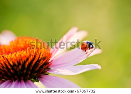 Blooming medicinal herb echinacea purpurea or coneflower with a ladybug on the petal - stock photo