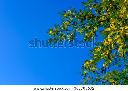 Blooming mimosa tree bunch over blue sky. Mimosa Spring Flowers Easter background.   - stock photo