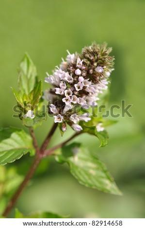 Blooming mint closeup - stock photo