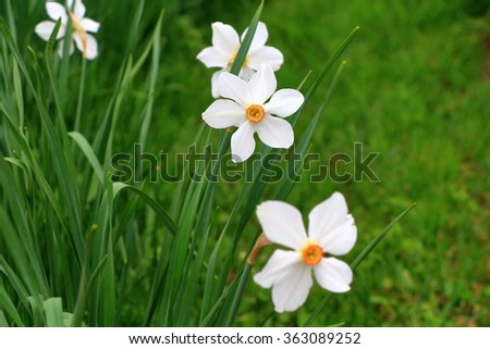 Blooming narcissus in the garden at springtime  - stock photo