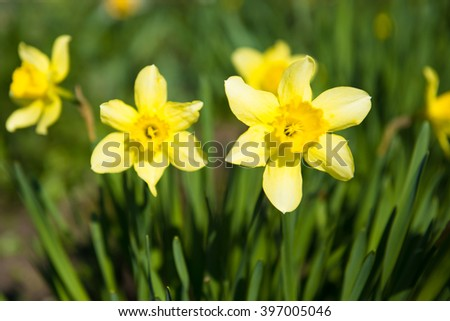 Blooming Narcissus tazetta. Yellow and white daffodil flowers in full bloom - stock photo