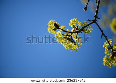 Blooming Norway Maple (Acer platanoides) against Blue Sky, backlite - stock photo