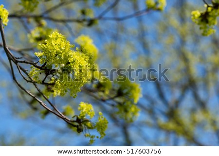 Blooming Norway Maple (Acer platanoides) against Blue Sky, backlite