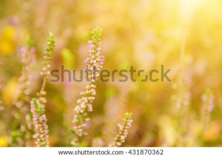 Blooming of beautiful heather flowers, natural seasonal vintage hipster floral background - stock photo