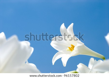 Blooming of easter lily in the blue sky