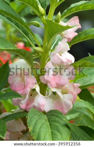 Blooming of Impatiens balsamina flower. - stock photo