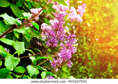 Blooming of lilac tree - closeup of bright violet flowers under sunlight. Spring background. - stock photo