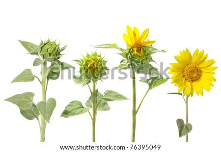 Blooming of sunflower from bud to beautiful flower