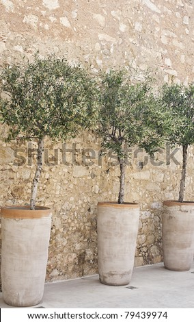 Blooming olive trees in terracotta pots arranged in a row along a cobblestone wall. Vertically oriented image. - stock photo