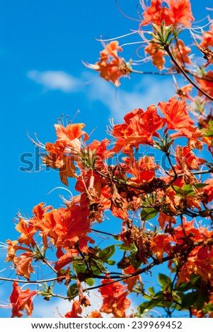 Blooming orange rhododendron - stock photo