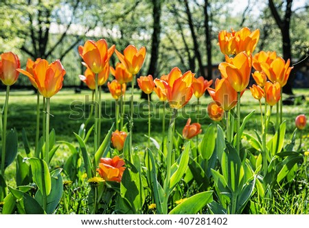 Blooming orange tulips in the spring park. Sunny weather. Natural scene. - stock photo