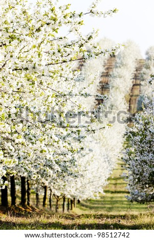blooming orchard in spring, Czech Republic - stock photo