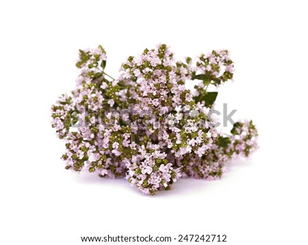 blooming oregano on a white background - stock photo