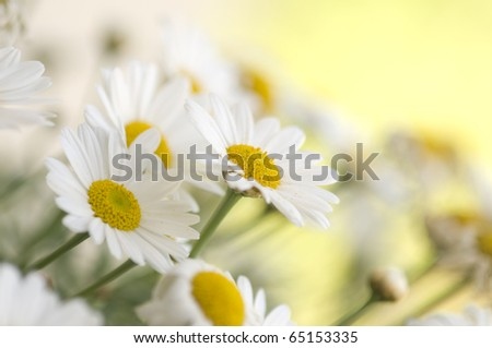 Blooming oxeye daisy at spring - stock photo
