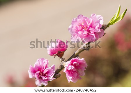 Blooming peach tree - stock photo
