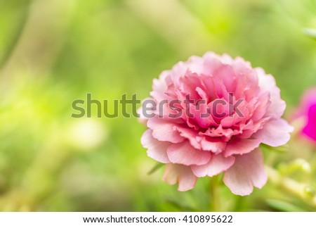 Blooming Peony Pink Flowers With Blurred Background - stock photo